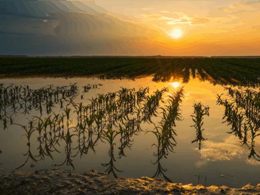Produção de milho afetada pelo excesso de umidade